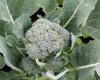 Best Broccoli for the Piedmont Workshop Moved to May 4